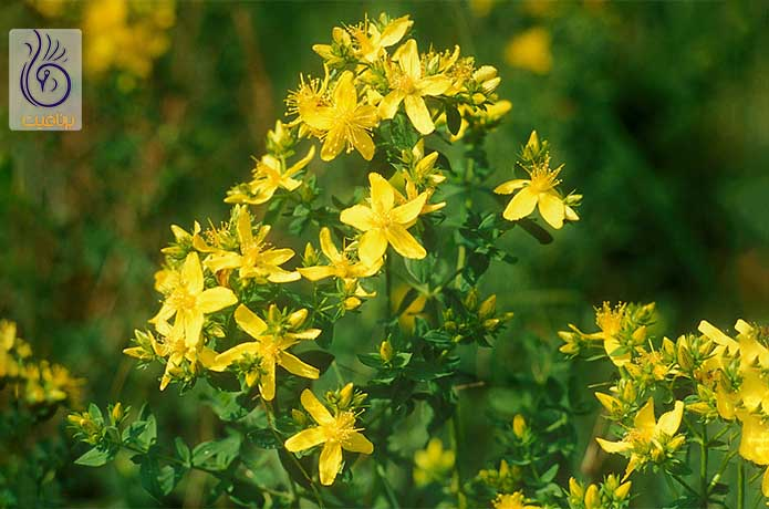 بهترین گیاهان دارویی برای درمان افسردگی و اضطراب